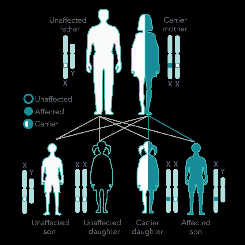 X-Linked Recessive Inheritance, Carrier Mother